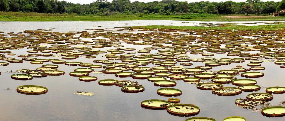 Solche Seerosen gibt es sonst nur noch am Amazonas.