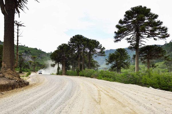 Vor allem die Nordwestseite des Sees hat viele Araukarien.