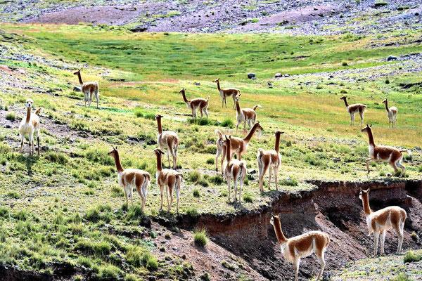 Und dann kommt die Wildform der Lamas, die Vicunias.