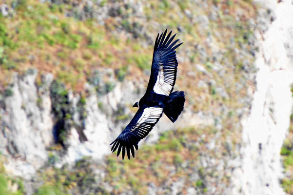 Condor am Colca-Canyon.