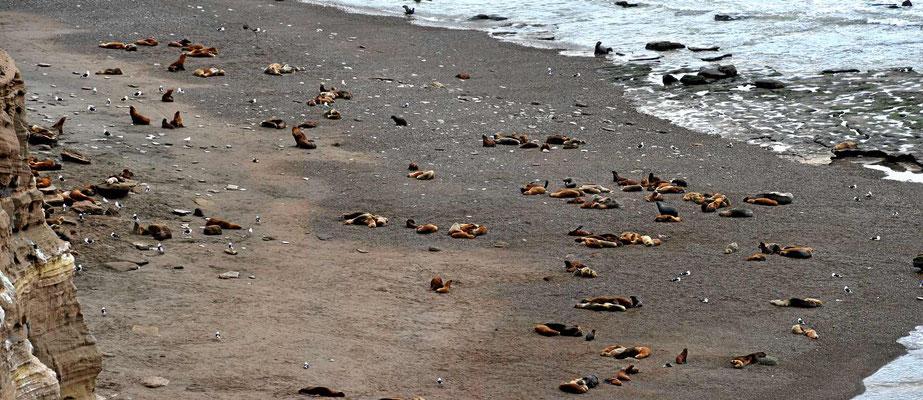 In der Brutsaison sind hier mehrere tausend Seelöwen.