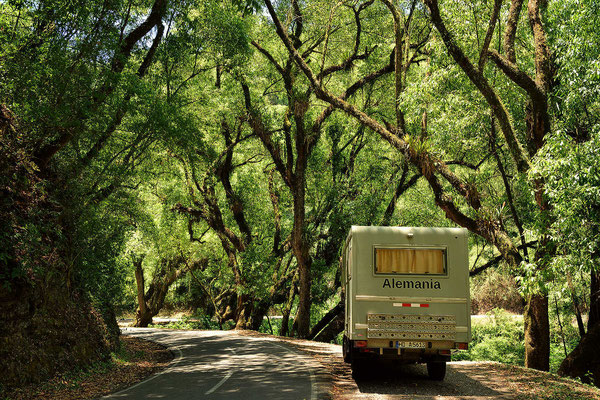 Ich liebe die moosbewachsenen Bäume in den Yungas-Wäldern. Es ist Frühling mit dem herrlichen Frühlingsgrün der Blätter.