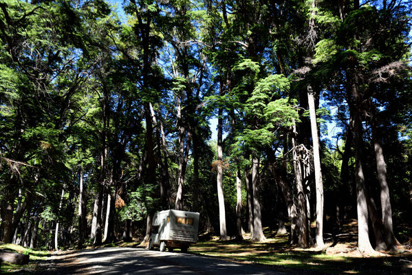 Riesenbäume im Nationalpark.