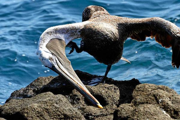 Mein Lieblingsvogel, der Pelikan, den gibt es natürlich auch auf Galapagos.