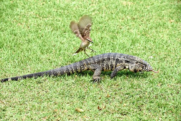 Ein kleiner Vogel verjagt einen großen Leguan.