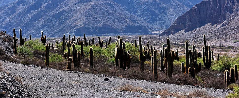 Das Tal des Rio Pumamarca mit Kandelaberkakteen.