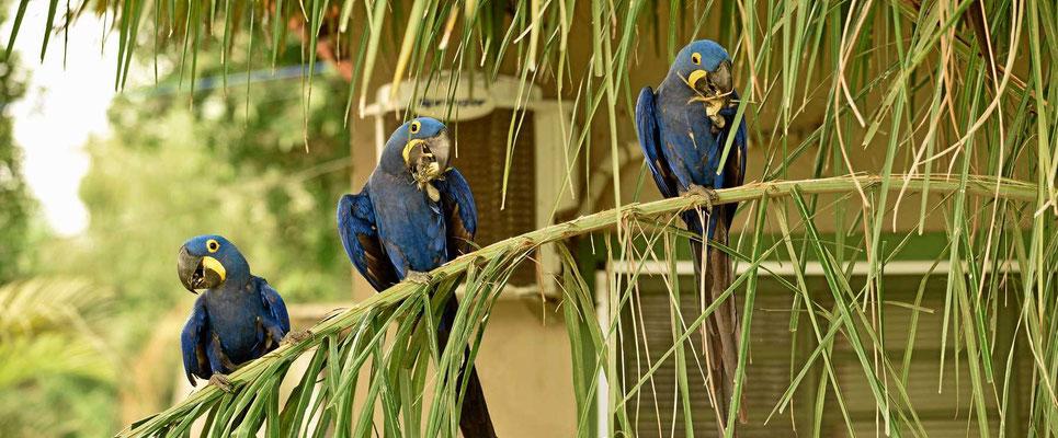 Die Hyazinth-Aras, die größten Papageien Südamerikas.
