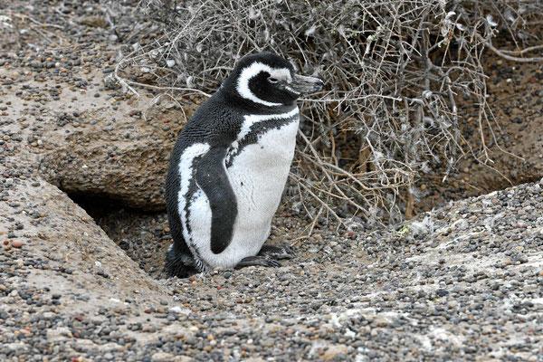 Ein Pinguin vor seiner Höhle.