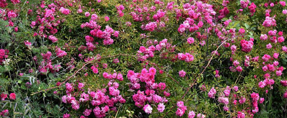 Bei dem feuchten Klima wachsen und gedeihen die Rosen.