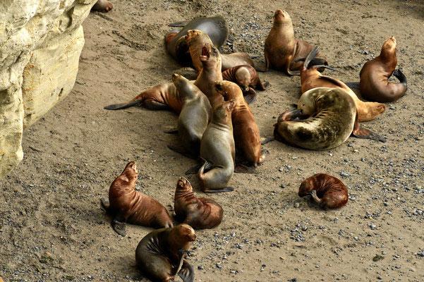 Familienleben der Seelöwen.
