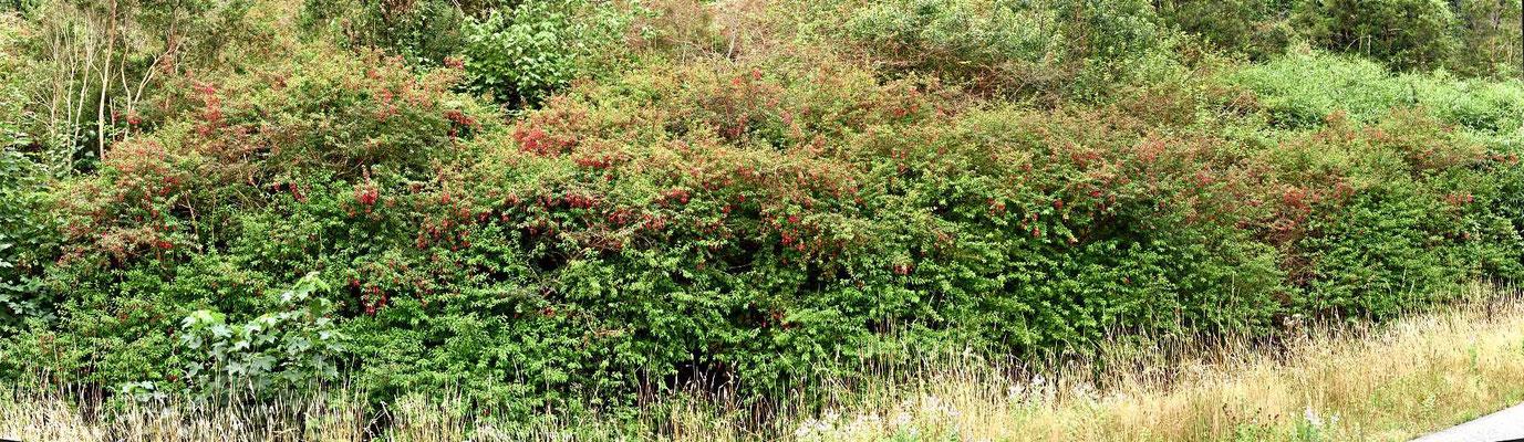 Chile ist das Fuchsienland. Endlose Fuchsienbüsche säumen den Wegesrand.