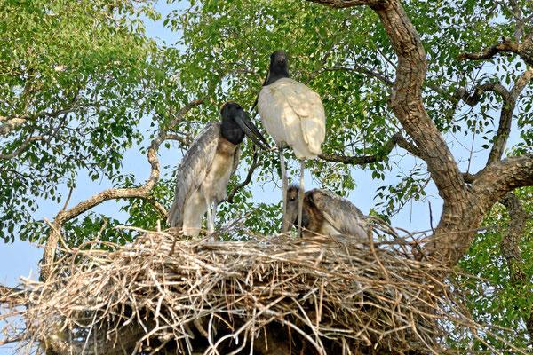 Eine Jabiru-Familie.