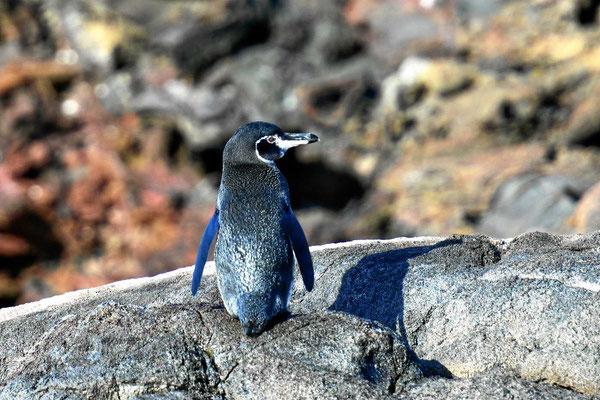 Der Galapagos Pinguin, der nördlichste Pinguin der Welt, eine bedrohter Art.
