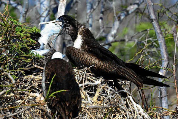 Ein Fregattvogel füttert sein Junges.