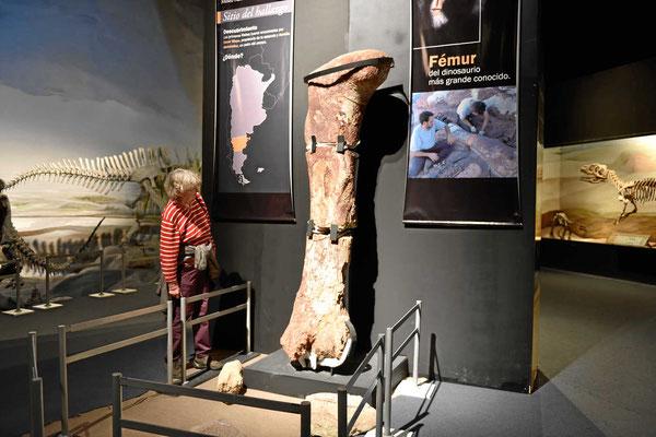 Die Unterschenkelknochen des bisher schwersten Landdinosauriers, echte Fossilien, kein Modell.
