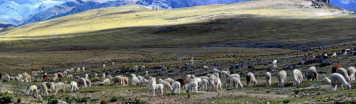 Oben erwarten uns große Herden von Alpacas.