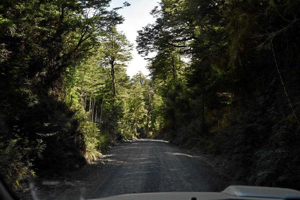 Fahrt zur Bergwiese durch einen schönen Urwald im Nationalpark Puyehue