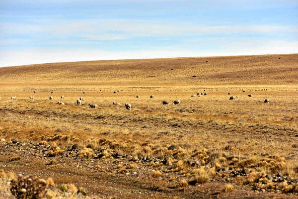 Endlich sehen wir mal Schafe in der Pampa, bislang war alles leer, keine Schafe, keine Rinder, wozu die Zäune???