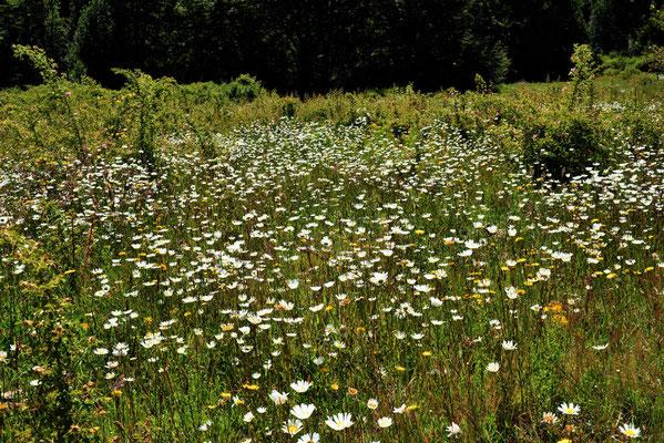 Blumenwiese imNationalpark.