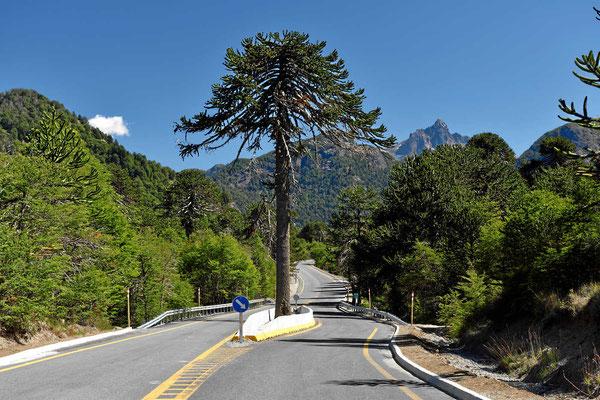 Auch so kann man mit Bäumen umgehen, hier eine Araukarie.