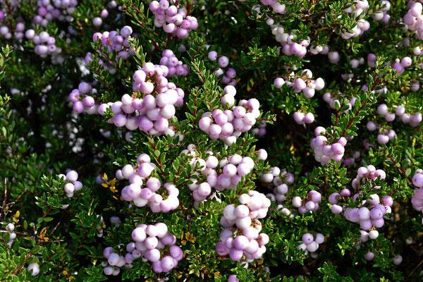 Trotz des kalten Wetters wachsen hier Büsche mit den unterschiedlichsten Beeren, mal sind sie weiß.