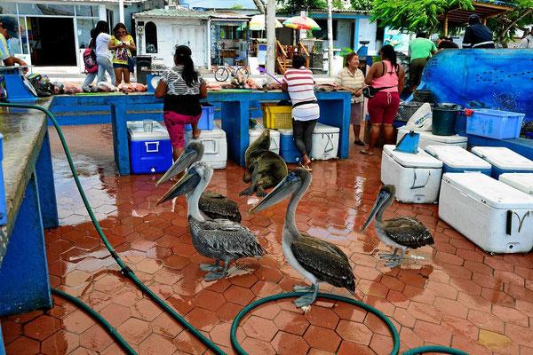 Auch die Pelikane sind durchaus am Fisch interessiert.