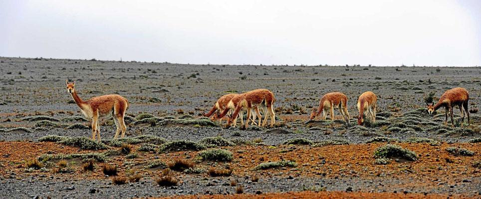 Am Nationalpark Chimborazo  sehen wir wieder eine kleine Herde von Vicunias.
