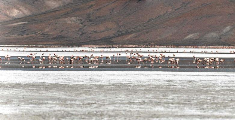 Hier sind tausende von Flamingos im Salzsee. Dies ist das linke Bild eines Panoramas.