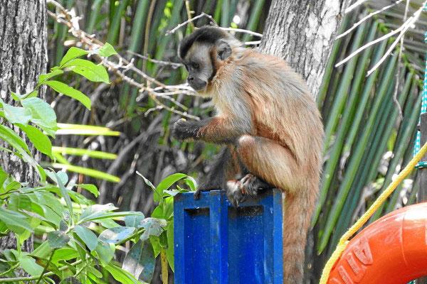 Eine Affengrupe aus Kapuzineraffen am Campingplatz el Gordo