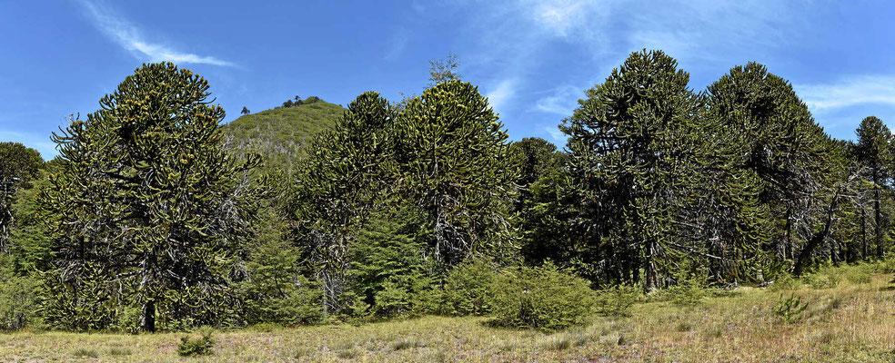 Unsere ersten Araukarienbäume.
