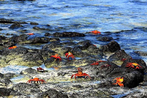 Diese Krabben sieht man überall zu hauf.