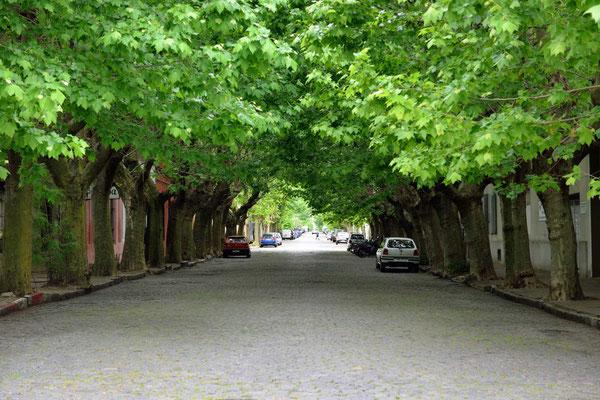 Solche Platanenalleen gibt es mehrere in der Nähe der Stadtmauer.