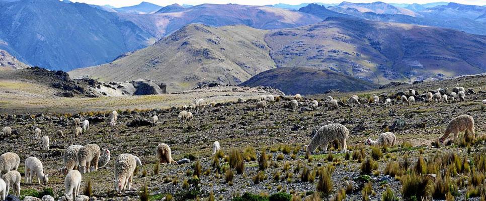 Alpacas in den Anden.