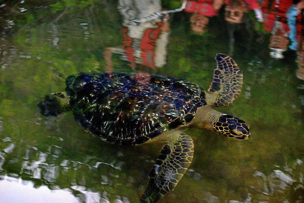 Da kommt eine Wasserschildkröte vorbei geschwommen.