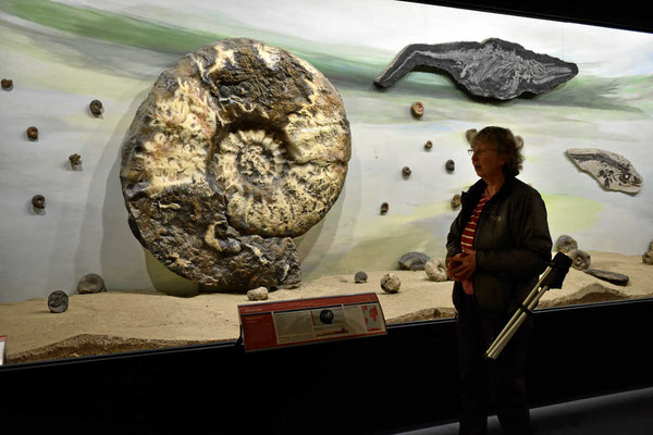 Die Versteinerung eines Riesen-Ammoniten.