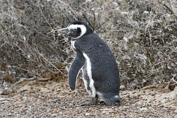 Anstelle der 500 000 sind noch so 150 Pinguine vor Ort.