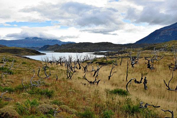 Wanderung zum Mirador am Lago Nordenskjold. Der Wald wurde durch eine Unachtbarkeit eines Touristen vernichtet.
