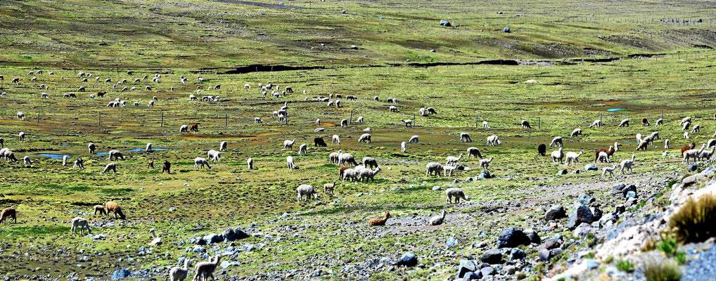 Immer wieder gibt es große Herden von Alpakas zu sehen.