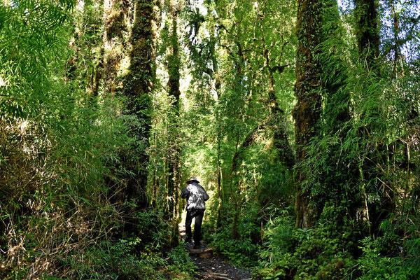 Wanderung durch den Alerce-Wald.