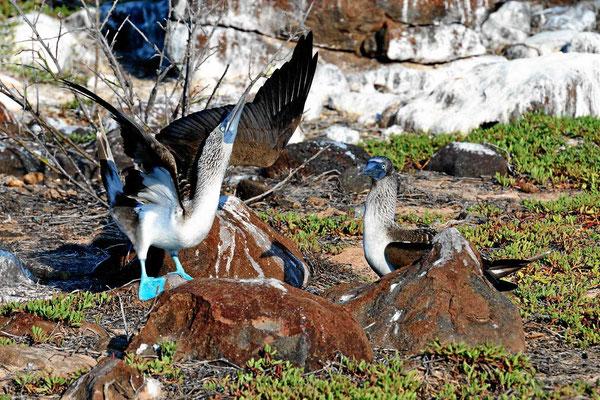 Ein tanzender Blaufußtölpel, das Männchen wirbt um das Weibchen.
