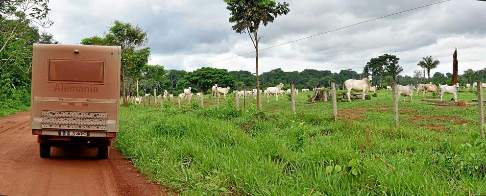 Und überall die Rinderlandschaften, gerade im Nationalpark erschienen sie uns als besonders häufig.