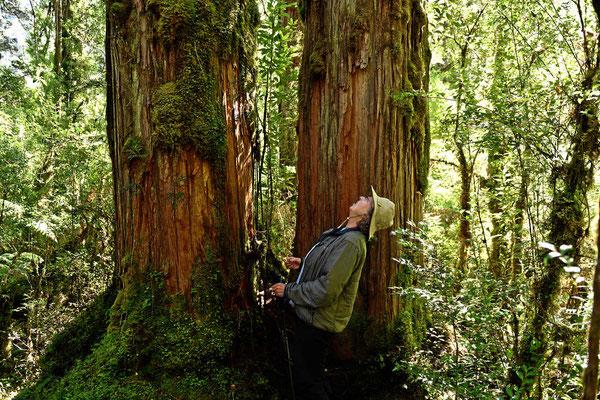Faszinierende Alerce-Bäume