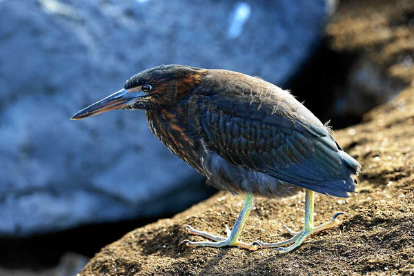 Und nochmal der gleiche Vogel, ein Lavaherron.