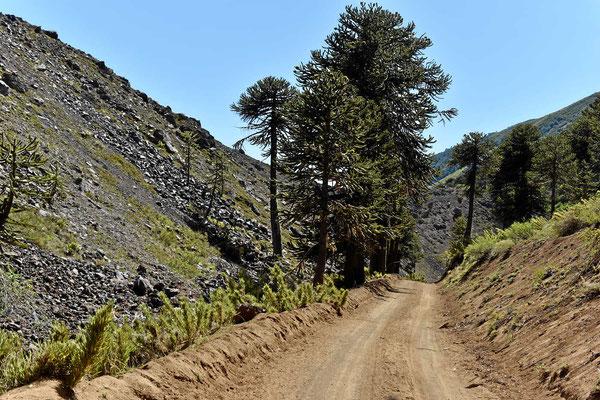 Fahrt entlang des Lavaflusses. Das Lava ist stellenweise 60 m dick.