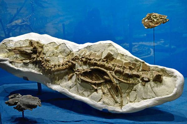 """Besuch im Fossilienmuseum von Trelew. Dies ist eine """"echte Fossilie""""."""