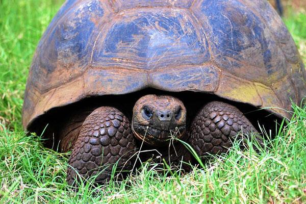 Riesenschildkröten auf der Insel Santa Cruz