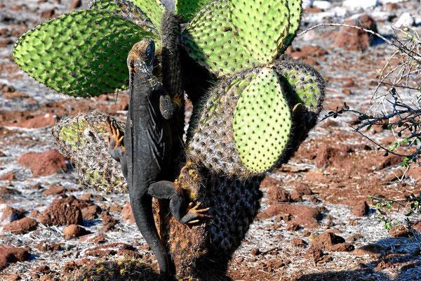 Meistens sitzen die Landleguane unter den Kakteen und warten darauf, dass eine Frucht mal runterfällt. Dieser muss einen ziemlichen Hunger haben, dass er selber aktiv wird.
