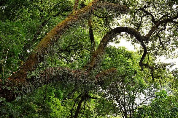 Moosbewachsene Bäume im Tal.
