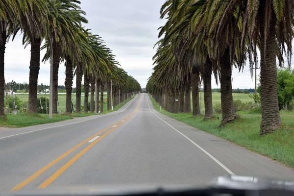 Nur kurz vor Colonia gibt es eine wunderschöne Palmenallee