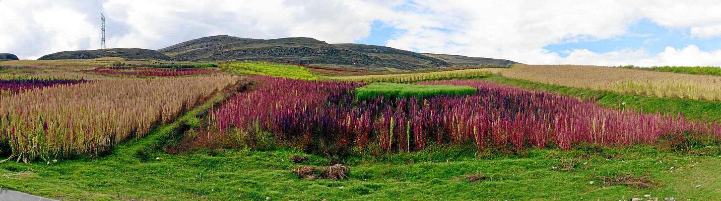 Amaranthfelder